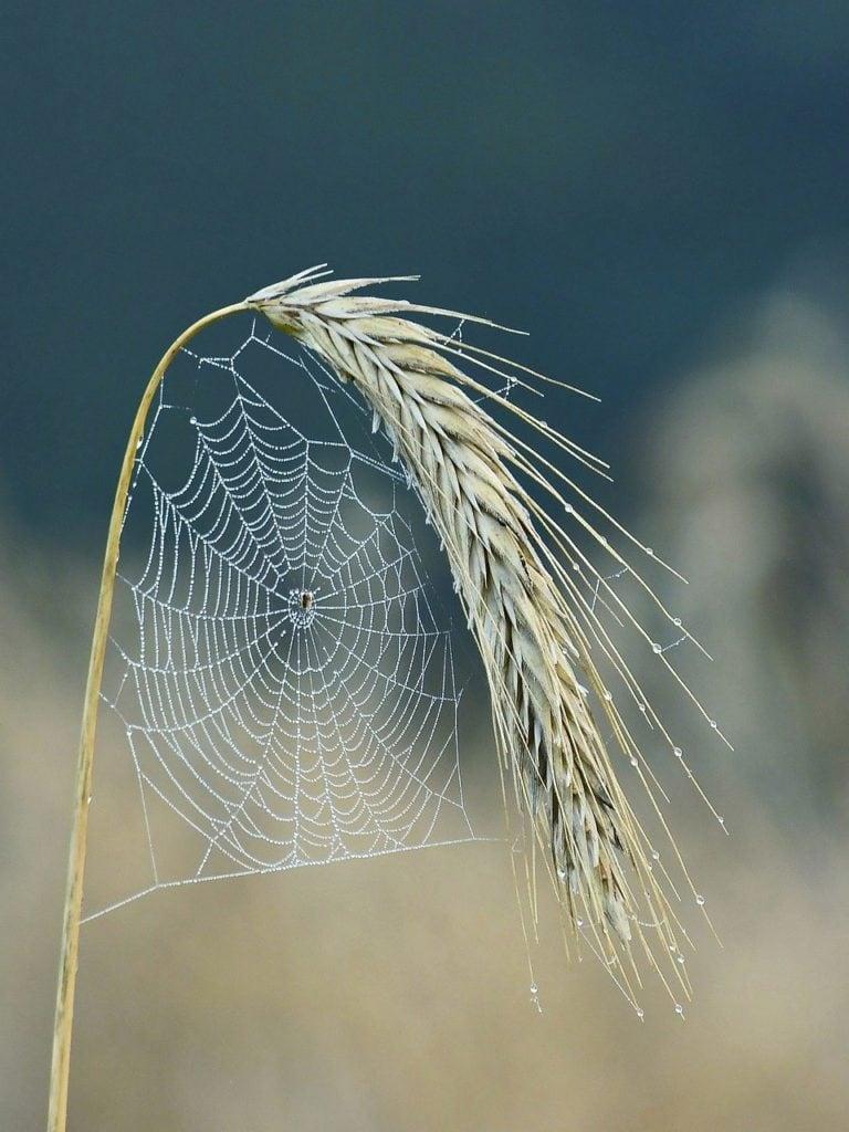 cobweb, spider, halm